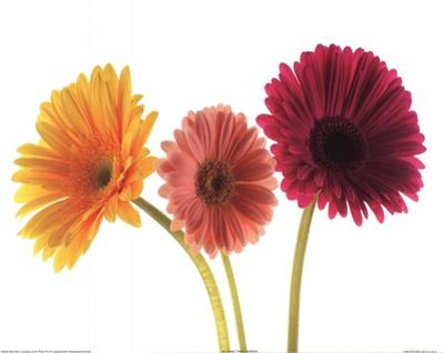 Three Gerbers by Art Photo Pro