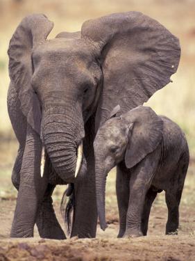 African Elephants, Tarangire National Park, Tanzania by Art Wolfe