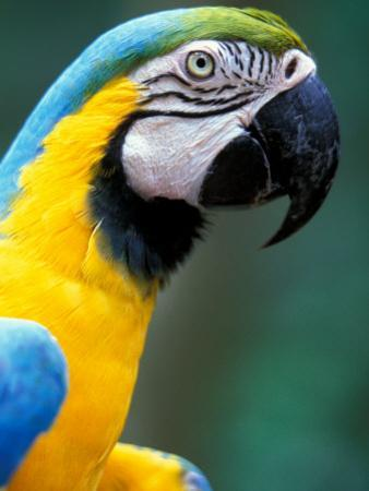 Blue and Yellow Macaw, Iguacu National Park, Brazil by Art Wolfe