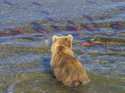 Brown bear fishing in shallow waters, Katmai National Park, Alaska, USA by Art Wolfe