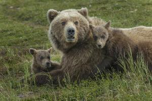 Brown bear sow and cubs, Katmai National Park, Alaska, USA by Art Wolfe