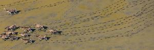 Caribou leaving tracks in mud, Alaska, USA by Art Wolfe