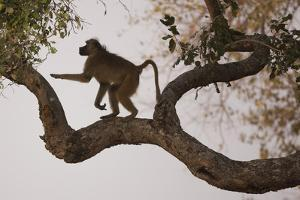Chacma Baboon, South Luangwa National Park, Zambia by Art Wolfe