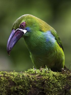 Ecuador Parrot by Art Wolfe