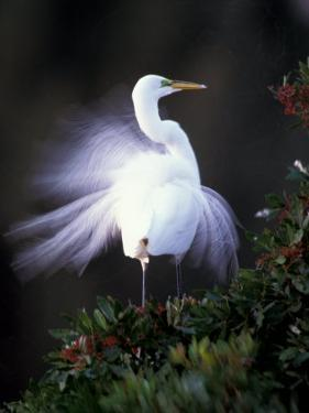 Egret Breeding Plumage, Venice, Florida, USA by Art Wolfe