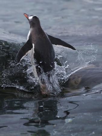 Gentoo penguin emerging from the ocean, Antarctica by Art Wolfe