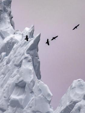 Greenland Birds Flocking by Art Wolfe