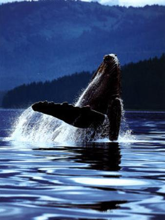 Humpback Whale by Art Wolfe