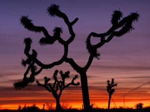 Joshua Trees at Sunrise, Mojave Desert, Joshua Tree National Monument, California, USA by Art Wolfe