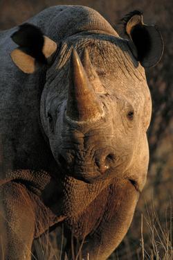 Kalahari Desert of Botswana, South Africa, and Namibia, black rhinoceros. by Art Wolfe