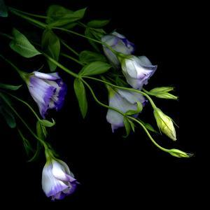 Lysianthus by Art Wolfe