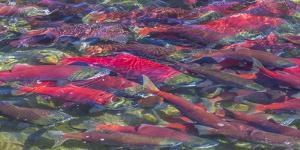 Migrating sockeye salmon, Katmai National Park, Alaska, USA by Art Wolfe