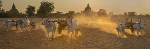 Ox carts at work on a farm in Bagan, Myanmar by Art Wolfe