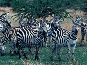 Plains Zebras, Serengeti National Park, Tanzania by Art Wolfe
