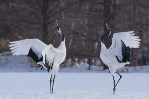 Red-crowned cranes, Hokkaido Island, Japan by Art Wolfe
