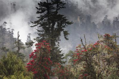 Rhododendron in bloom in the forests of Paro Valley, Bhutan by Art Wolfe