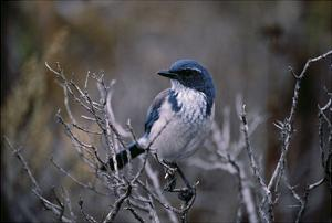Scrub Jay by Art Wolfe