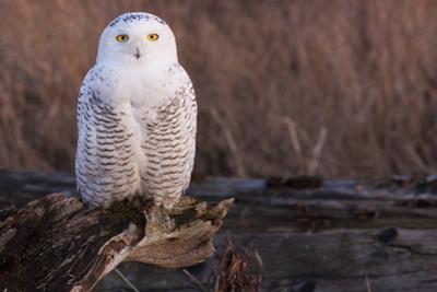 Snowy Owl, British Columbia, Canada by Art Wolfe