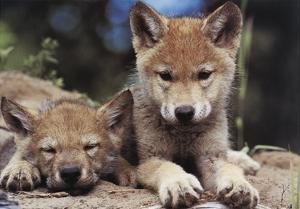 Spring Wolf Pups by Art Wolfe