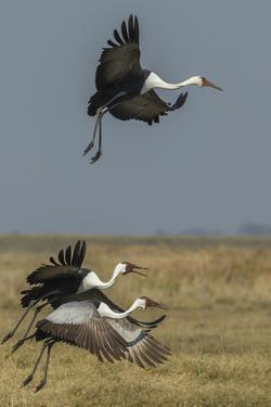 Wattled crane, Okavango Delta, Botswana by Art Wolfe