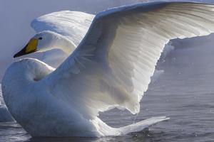 Whooper swan, Hokkaido Island, Japan by Art Wolfe