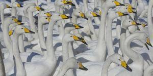 Whooper swans, Hokkaido Island, Japan by Art Wolfe