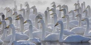 Whooper swans, Hokkaido, Japan by Art Wolfe