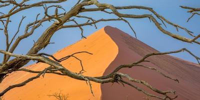 Acacia snag and dune, Namibia, Africa