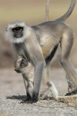 Black-faced langurs, India by Art Wolfe Wolfe