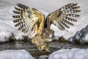 Blakiston's fish owl, Hokkaido, Japan by Art Wolfe Wolfe