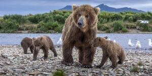 Brown bear sow and three cubs, Alaska by Art Wolfe Wolfe