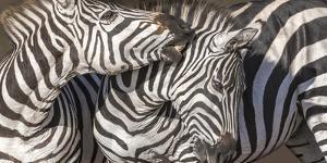 Plains Zebras, Kenya, Africa by Art Wolfe Wolfe