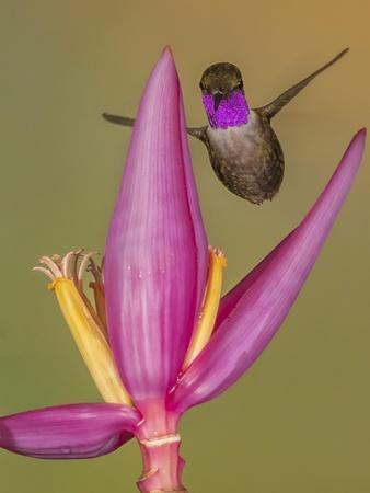 Purple-throated woodstar hummingbird, Ecuador