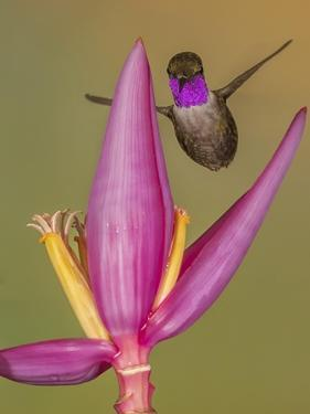 Purple-throated woodstar hummingbird, Ecuador by Art Wolfe Wolfe