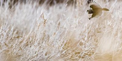 Short-eared owl in flight, Canada