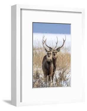 Sika deer, Hokkaido, Japan by Art Wolfe Wolfe