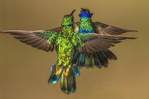 Sparkling violetear hummingbird, Ecuador by Art Wolfe Wolfe