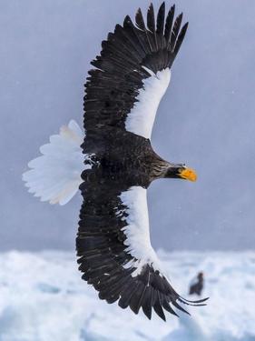 Steller's Sea eagle, Hokkaido, Japan by Art Wolfe Wolfe