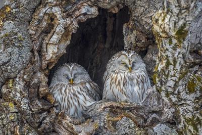 Ural owls, Hokkaido, Japan