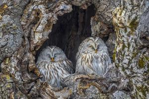 Ural owls, Hokkaido, Japan by Art Wolfe Wolfe