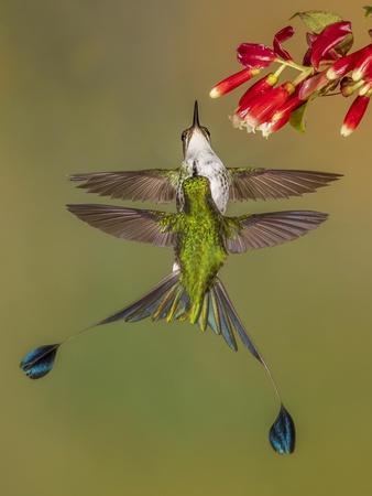 White-booted racket-tail hummingbirds, Ecuador