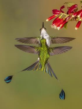 White-booted racket-tail hummingbirds, Ecuador by Art Wolfe Wolfe