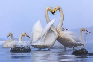 Whooper swans, Hokkaido, Japan by Art Wolfe Wolfe