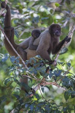 Woolly monkeys, Amazonas, Brazil by Art Wolfe