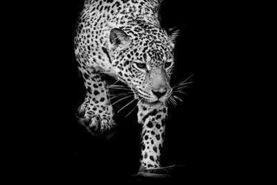 Close up Black and White Jaguar Portrait by Art9858