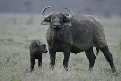 African Buffalo and Calf