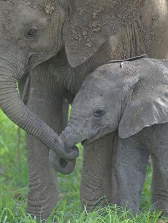 African Elephant Mother Holding its Baby's Trunk, Loxodonta Africana, East Africa by Arthur Morris