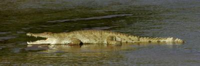African or Nile Crocodile, Crocodylus Niloticus, Kenya by Arthur Morris