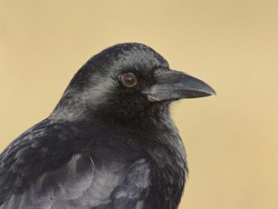 American Crow Head, Bosque Del Apache National Wildlife Refuge, New Mexico, USA