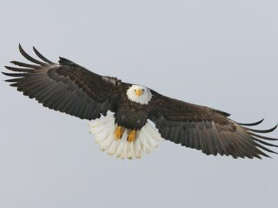 Bald Eagle Flying with Full Wingspread, Homer, Alaska, USA by Arthur Morris